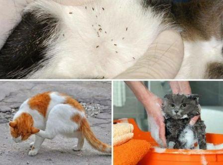 Как понять, что у кошки появились блохи